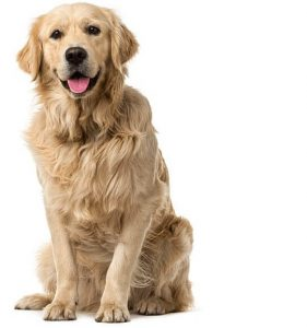 golden-retriever-hund